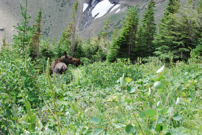 Moose on Mountain