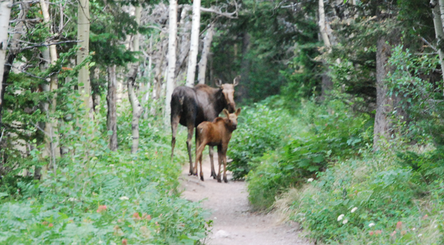 Moose Mom and Baby on Path